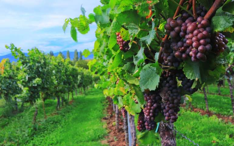 A unique wine is born from our vineyards