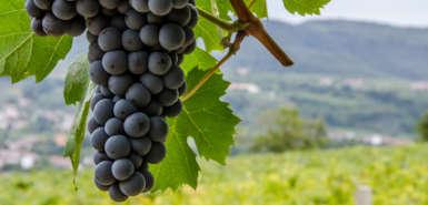 Vigneti e grappoli di uva rossa nelle colline di toscana e veneto
